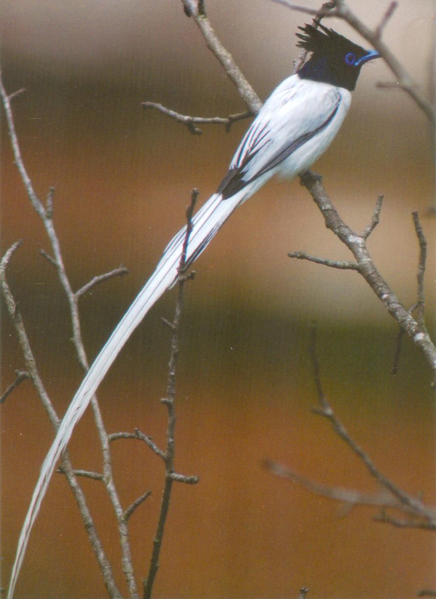 Asian Paradise Flycatcher