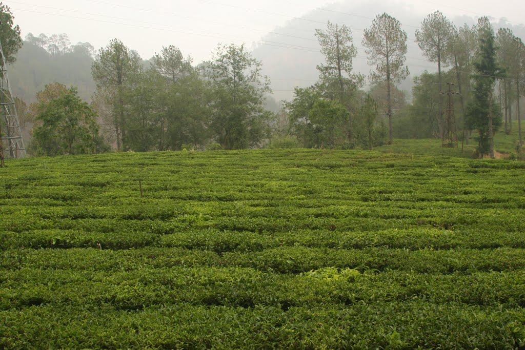 Shyamkhet Tea Garden